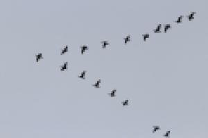trekvogels.png