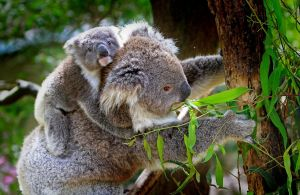 mama koala met een kleintje op haar rug