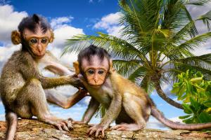 twee aapjes