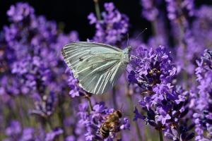Koolwitje op een paarse bloem
