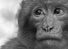 hoofd van een aapje