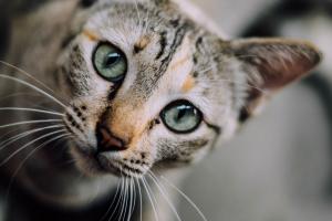kop van een kat