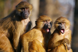 drie bavianen