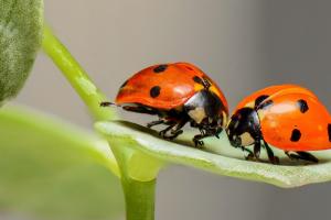 twee lieveheersbeestjes op een plant