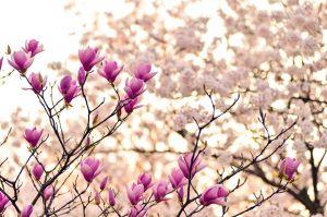 Ontluikende lentebloemen