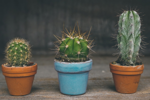 drie cactussen op een rij