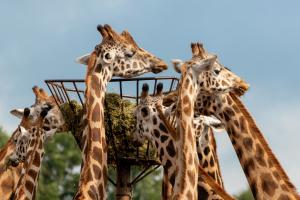 giraffen eten uit een hoge bak