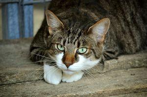 Liggende wit met bruin gestreepte kat