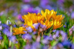 Gele krokussen en kleine paarse bloemetjes