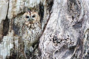 een uil die goed gecamoufleerd is in een oude boom