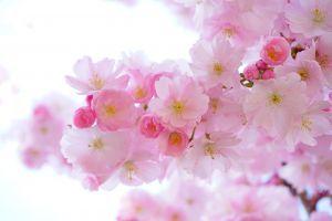 bloesem Japanse kerselaar