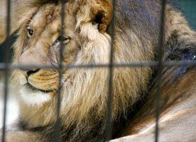 een leeuw in een kooi