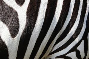 zwarte en witte strepen van een zebra