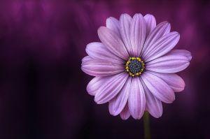 Afbeelding van een paarse bloem
