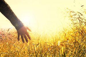 een hand voelt aan graan in een veld