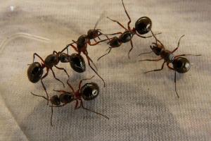 vijf mieren