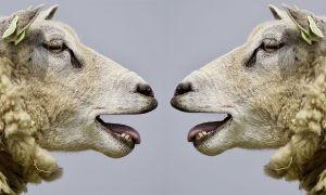 mekkerende schapen