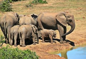 kudde olifanten aan een plas water