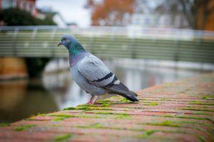 duif in de stad
