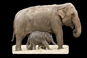 grote en kleine olifant