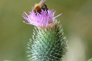 A bee on a thistle flower