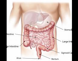 tekening van de buik: darmen, maag, lever