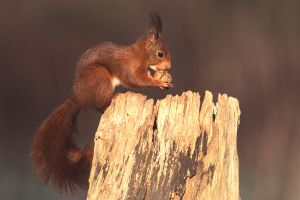 Squirrel on a trunk