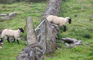 Sheep jumping over wall