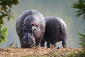 twee nijlpaarden aan het water