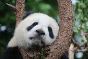 panda in een boom