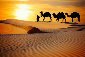 three camels in the desert
