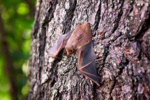 Een vleermuis hangt op een boomstam.