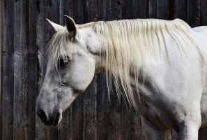 Paard met witte kleur