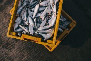 bakken met gevangen vis