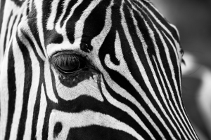 kop van een zebra