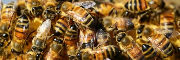 honey-bees_kc