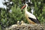 Nest met ooievaars